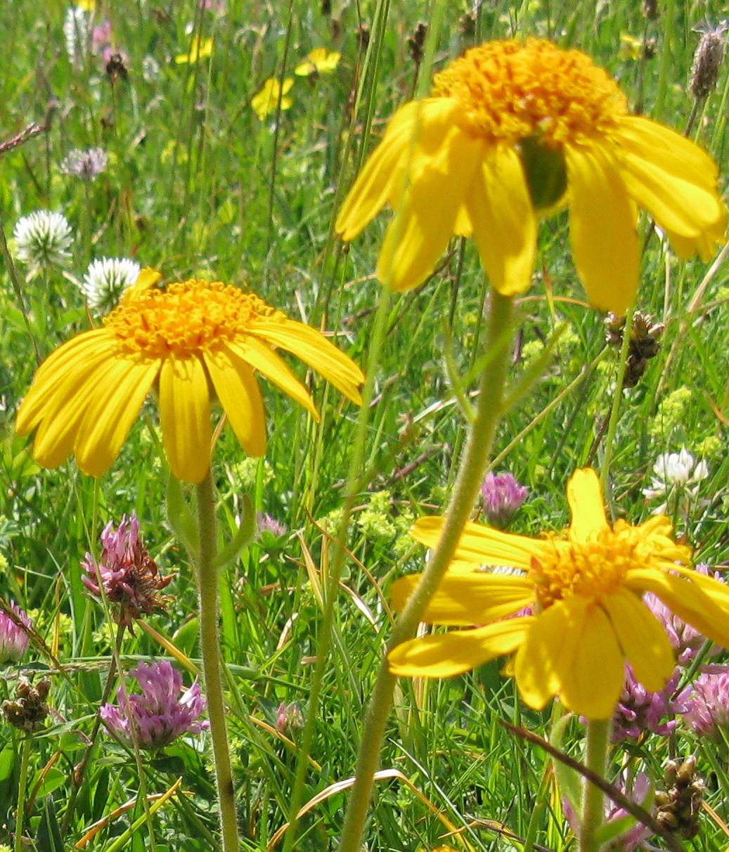 Piante e fiori di arnica ritaglio solerbe farm for Piante e fiori